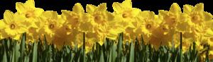daffodils_2020.png