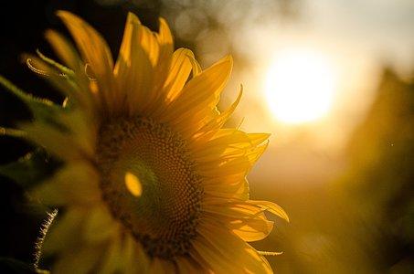 Yellow-Nature-Sunset-Sunflower-Sunshine-Summer-5370278.jpg